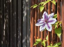 Flor da clematite que escala uma treliça do jardim Fotos de Stock