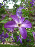 Flor da clematite roxa Foto de Stock Royalty Free