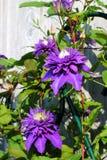 Flor da clematite roxa Imagem de Stock