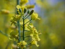 Flor da colza em Estônia Imagens de Stock Royalty Free