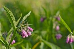 Flor da consolda-maior, s dof seletivo (officinale do Symphytum) Fotos de Stock
