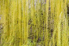 Flor da copa de árvore da árvore de salgueiro fotos de stock