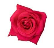 A flor da cor-de-rosa levantou-se Imagens de Stock