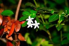 Flor da cor de três brancos Imagens de Stock