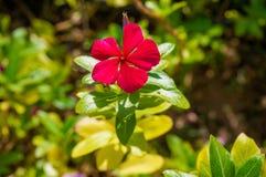 Flor da cor vermelha Foto de Stock Royalty Free
