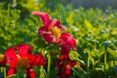 Flor da cor vermelha Imagens de Stock