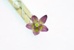 Flor da coroa Imagem de Stock