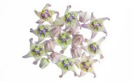 Flor da coroa Imagem de Stock Royalty Free