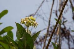 Flor da coroa, Milkweed indiano gigante, nome científico gigantesco: Gigantea de Calotropis fotografia de stock