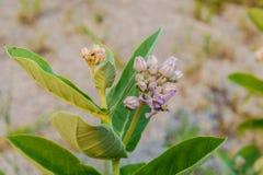 Flor da coroa, Milkweed indiano gigante, Swallowwort gigantesco imagens de stock royalty free