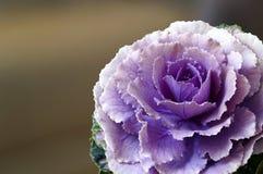 Flor da couve com pétalas roxas fotografia de stock royalty free