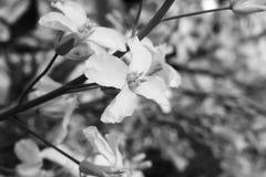 Flor da couve de Bruxelas preto e branco Fotografia de Stock Royalty Free