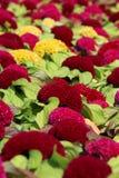 Flor da crista Imagem de Stock Royalty Free
