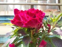 Flor 2 da crista Foto de Stock Royalty Free