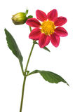 Flor da dália Fotografia de Stock