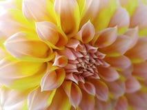Flor da dália, amarelo-alaranjado-cor-de-rosa closeup Dália bonita a flor da vista lateral, o fundo distante é borrada, para o pr Fotografia de Stock