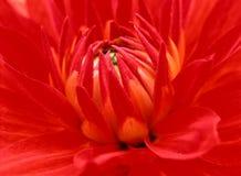Flor da dália cedo na manhã imagens de stock