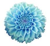 Flor da dália de turquesa, fundo branco isolado com trajeto de grampeamento closeup Foto de Stock Royalty Free