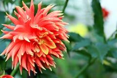 Flor da dália no jardim Foto de Stock Royalty Free