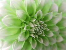 Flor da dália, verde-branca closeup Dália bonita a flor da vista lateral, o fundo distante é borrada, para o projeto Imagens de Stock