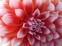 Flor da dália, vermelho-branca closeup Dália bonita a flor da vista lateral, o fundo distante é borrada, para o projeto Fotos de Stock Royalty Free
