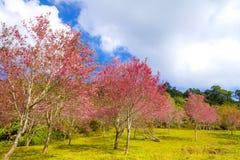 Flor da flor de cerejeira ou do Sakura bonita com nuvem Imagem de Stock Royalty Free