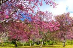 Flor da flor de cerejeira ou do Sakura idílico com floresta Imagem de Stock