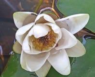 Flor da flor de Lotus na água Imagem de Stock Royalty Free