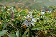 Flor da flor de Passionfruit imagem de stock