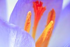 Flor da flor do açafrão, foto tonificada azul macro Fotografia de Stock