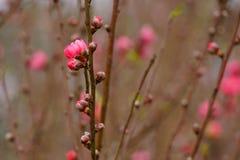 Flor da flor do pêssego no jardim Sinais da mola Imagem de Stock Royalty Free