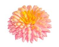 Flor da dourado-margarida do crisântemo isolada no fundo branco imagem de stock royalty free