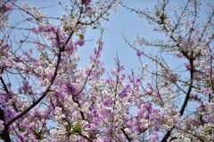 Flor da flor em sua árvore na primavera Fotografia de Stock Royalty Free