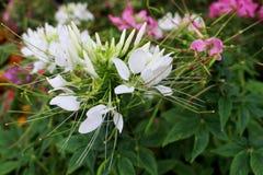 Flor da erva, chá de Java, planta de chá do rim, aristatus de Orthosiphon da árvore das suiças do ` s do gato Fotografia de Stock
