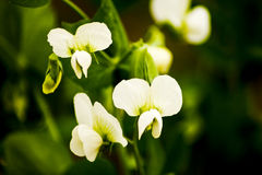 Flor da ervilha Fotografia de Stock