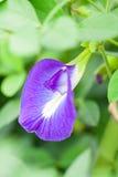Flor da ervilha de borboleta Fotos de Stock Royalty Free