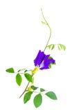 Flor da ervilha de borboleta Fotografia de Stock Royalty Free