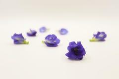Flor da ervilha de borboleta no fundo branco Imagens de Stock