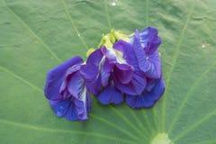 Flor da ervilha no fundo Imagens de Stock Royalty Free