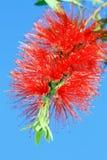 Flor da escova de frasco Imagem de Stock Royalty Free