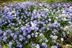 Flor da estrela da mola Imagem de Stock Royalty Free