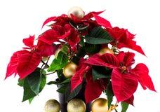 Flor da estrela do Natal em um fundo branco Imagem de Stock Royalty Free