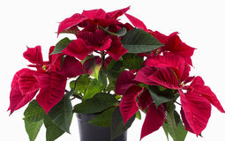 Flor da estrela do Natal em um fundo branco Fotografia de Stock Royalty Free