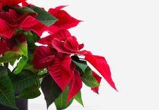 Flor da estrela do Natal em um fundo branco Fotos de Stock Royalty Free