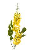 Flor da fístula da cássia isolada no fundo branco imagem de stock