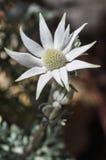 Flor 2 da flanela Fotografia de Stock Royalty Free