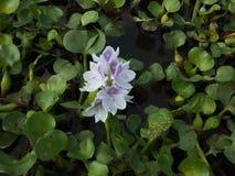 Flor da flauta na lagoa fotografia de stock royalty free