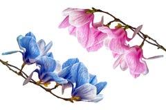 Flor da flor da magnólia isolada no branco Fotos de Stock Royalty Free