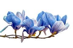 Flor da flor da magnólia isolada no branco Imagens de Stock Royalty Free