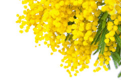 Flor da flor da mimosa isolada no fundo branco Imagem de Stock Royalty Free